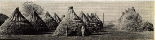 the retted and bundled hemp straw is stacked and the hemp mill - either round stacks or ricks are used